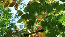 chromatography-of-leaves