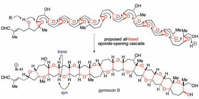 Gymnocin B could be biosynthesised via a cascade