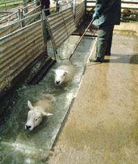 ������� ������ ������ ���� NEWS-p8-sheep-dippin