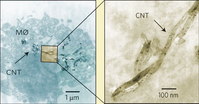 Carbon nanotubes caught in the lung