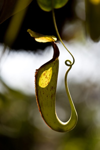 Pitcher plant slippery surface