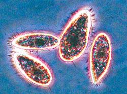 shape shifting micro organisms