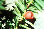 yew tree berry and needles