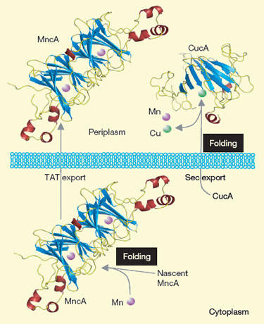 Metalloproteins fold in cellular compartments