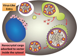 Colloidal polymer vectors loaded with nanocrystal probes enter cells