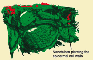 Nanotubes pierce root cells