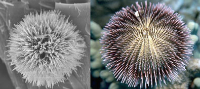 Nanourchin (left) and sea urchin (right)