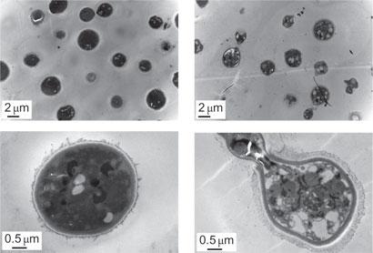 Antibiotic micelles