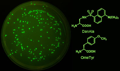 Engineered yeast expressing the green fluorescent protein with unnatural amino acids incorporated (left); the two unnatural amino acids used by the team (right)