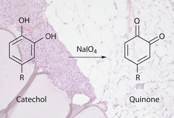 Catechol in the presence of an oxidant transforms into a quinone