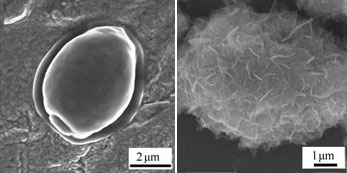 The baker's yeast cell before and after encapsulation